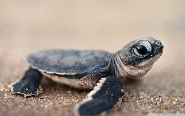 sea turtleGreen Sea, Bright Eye, Bing Image, Turtles Hatchling, Baby Animal, Animal Planet, Baby Turtles, Adorable Animal, Baby Sea Turtles