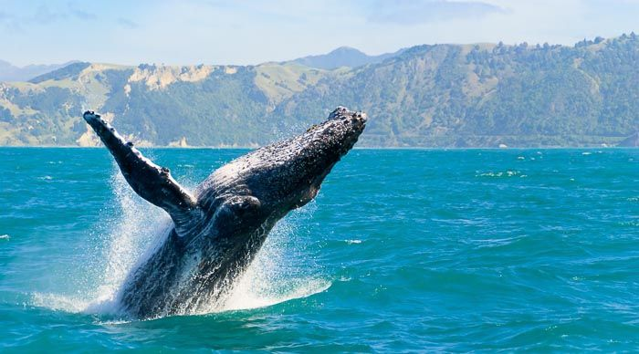 One of the great pleasures of travelling around Cape Town is to experience the frolicking of the pods of Southern Right whales off the coast at Hermanus during the months of June to December.