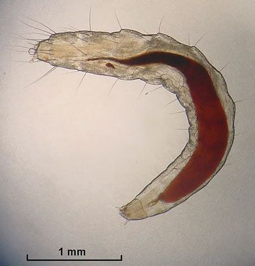 Cat flea larva eats flea dirt which is mostly dried blood