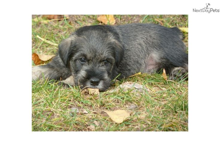 You'll love this Male Schnauzer, Standard puppy looking for a new home.