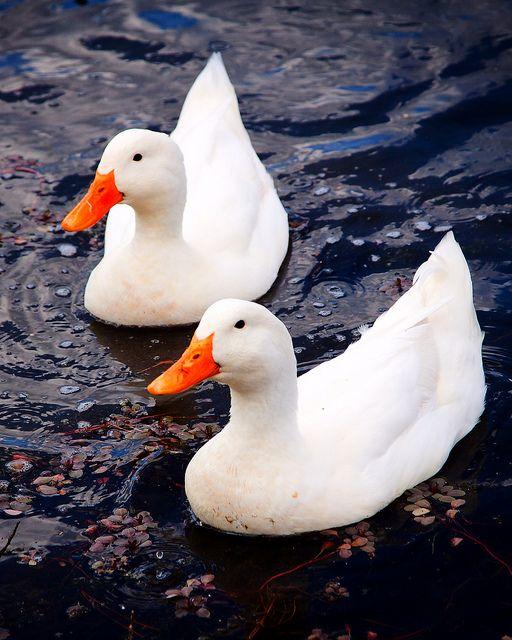 (Anas platyrhynchos domestica) American Pekin Duck