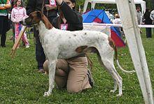 Magyar agar - A.k.a. Hungarian Greyhound, Hungarian agar - Hungary; Transylvania (now part of Romania) - Hunting and coursing and as a companion