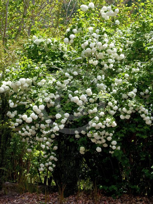 25 best ideas about viburnum opulus roseum on pinterest snowball viburnum white flowering. Black Bedroom Furniture Sets. Home Design Ideas