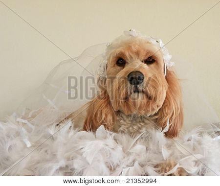 poodle in wedding outfit