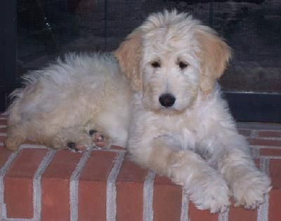 #goldendoodle #dogs #cute