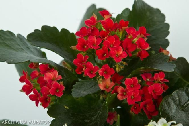 Kalanchoe Popularny Kwiat Doniczkowy Jak Pielegnowac Kalanchoe W Domu Murator Pl In 2021 Plants Flowers Kwiat