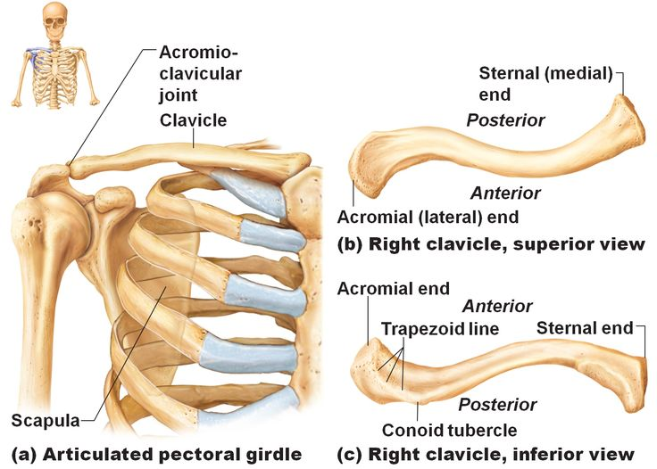 Human Bones Diagram Of Clavical - Search For Wiring Diagrams •