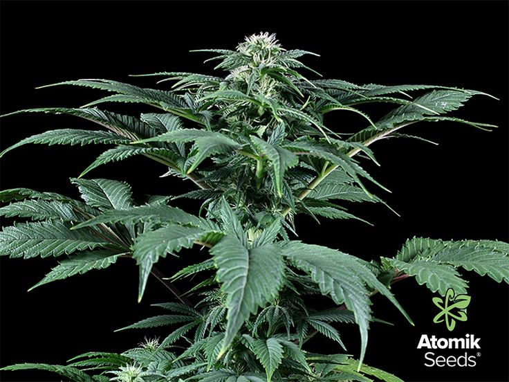 Blueberry es una semilla de marihuana feminizada que tiene más de 40 años desde su creación allá en la década de los 70's por el cultivador Dj Short. Ha pasado mucho tiempo pero esta variedad no sólo ha sabido sobrevivir en el tiempo, sino que siempre ha estado en los puestos más altos de los rankings a nivel de Cannabis Cups a nivel internacional. Y no sólo eso, sino que es por antonomasia una de las variedades de marihuana favoritas de cultivadores de todo el mundo.