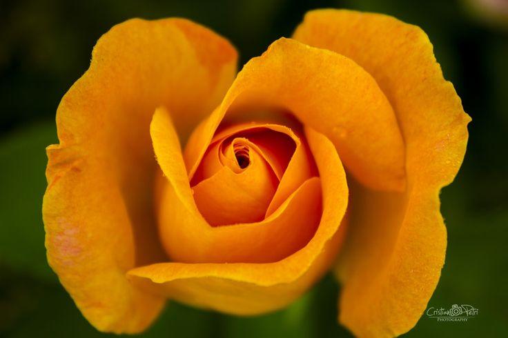 orange rose by Cristian Petri on 500px