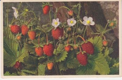 Thor E Gyger Postcard - 706 - Fragaria vesca - Walderbeere - Farisier des bois - Fragola selvatica - Wild Strawberry
