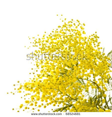 big branch of mimosa plant with round fluffy yellow flowers