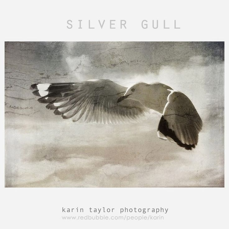 karin taylor photography: Silver Gull