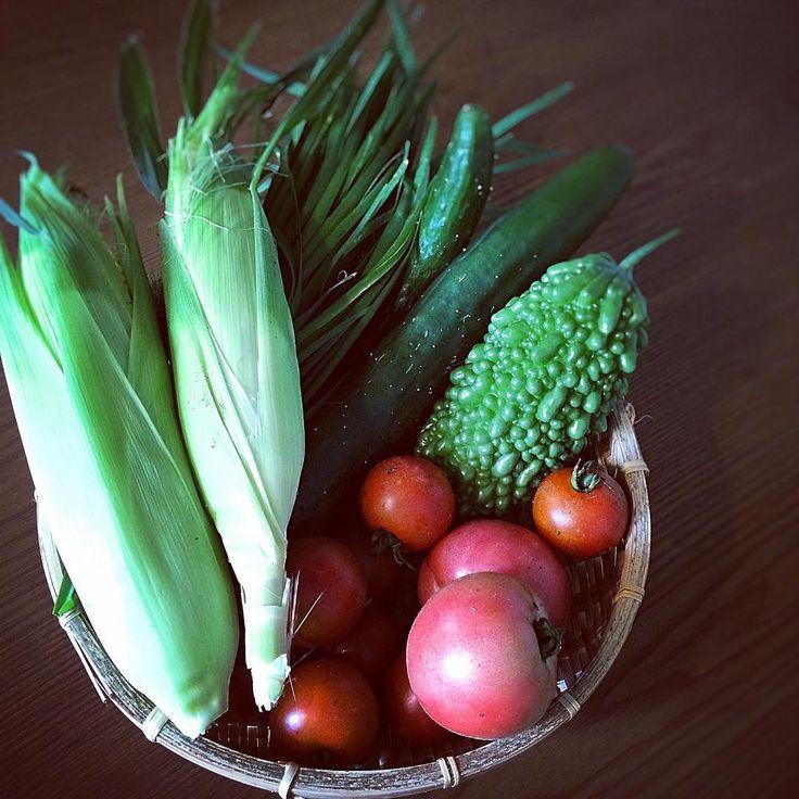 今朝の採れたて野菜 畑から届いたばかりの新鮮野菜 一番綺麗に映るのは加工しないそのままの姿かも  とうもろこしゴーヤトマトニラきゅうり…