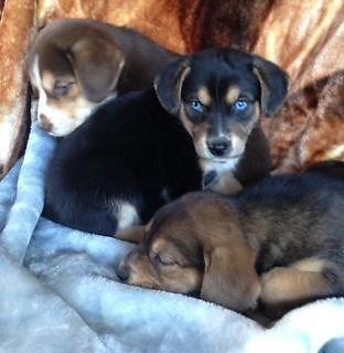 Beagle Husky mix Puppies
