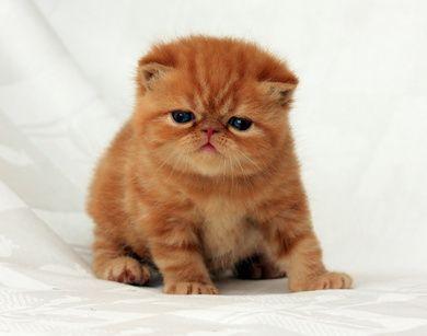 exotic-shorthair cat