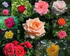 Болезни роз и способы лечения