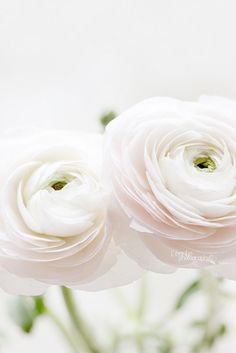 White Flowers, Soft Ranunculus, White Ranunculus, Flowers White, Beautiful Flowers, Delicate Flowers