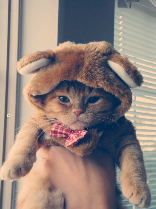 kitty cat cute cats kitten cat in costume bunny kitty fattyassid ... More at - Catsincare.com
