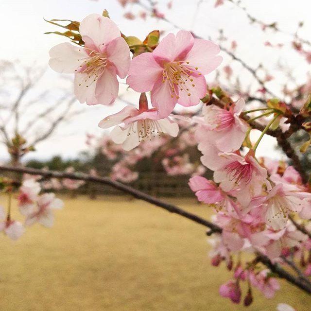 【shioriyyhayashibara】さんのInstagramをピンしています。 《今年初めて見た河津桜🌸は既に満開👏  桜餅🌿😋の季節ももうすぐそこかしらん  #さくら #さくら🌸 #桜 #桜🌸 #櫻 #cherryblossom #cherryblossoms #かわづざくら #かわづさくら #かわずざくら #かわずさくら #かわずさくら🌸 #kawazuzakura #kawazuzakura🌸 #河津桜 #河津桜🌸 #🌸 #さくらもち #さくら餅 #桜もち #桜餅 #17時の鐘なりやんだから帰ろう #撮影 #写真 #カメラ #photo #foto #Instagram #Instagood #2017_2_16》