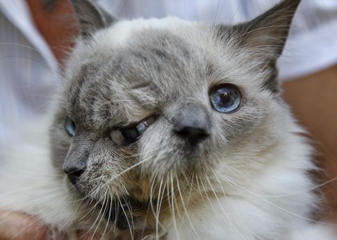 guiness world record holder see more poor kitty literally a siamese it is the longest living cat with this