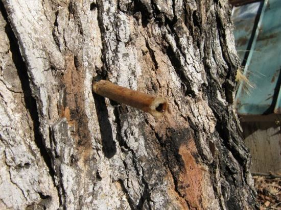 Tapping Maple Trees Using Natural Sumac Spiles, Part 1