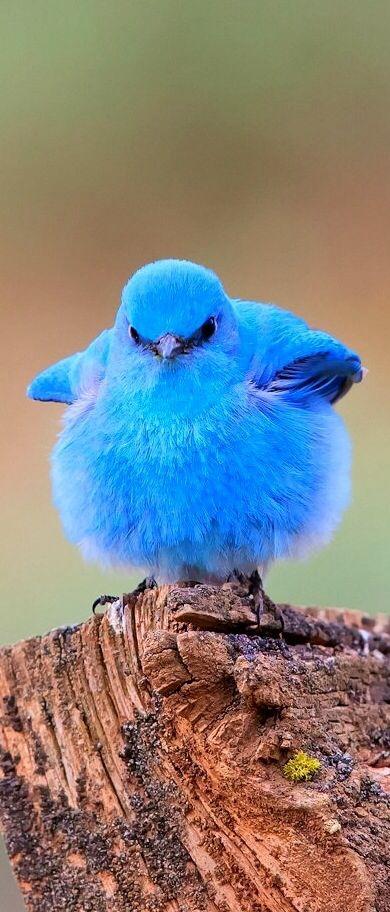 Fluffy Blue Bird