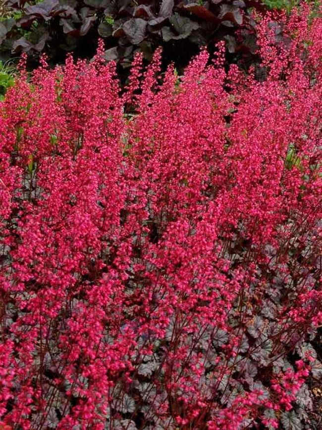 Heuchera Rave On Coral Bell Alum Root Blessed With Both Beautiful Foliage And Flowers Long Blooming Rose Pink Wands Heuchera Perennials Flowers Perennials