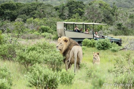 Guests get a wonderful close-up photographic opportunity with an obliging pair of lions at Sibuya Game Reserve near Kenton on Sea, Eastern Cape, South Africa Don't forget to follow us on Instagram for more beautiful photos. https://www.instagram.com/sibuya_game_reserve/
