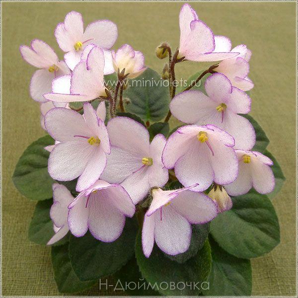 Н-Дюймовочка (Н.Бердникова) Крупные нежно-розовые колокольчики с тонкой малиновой фантазийной каймой; маленькие темно-зеленые заостренные листочки. Миниатюра.