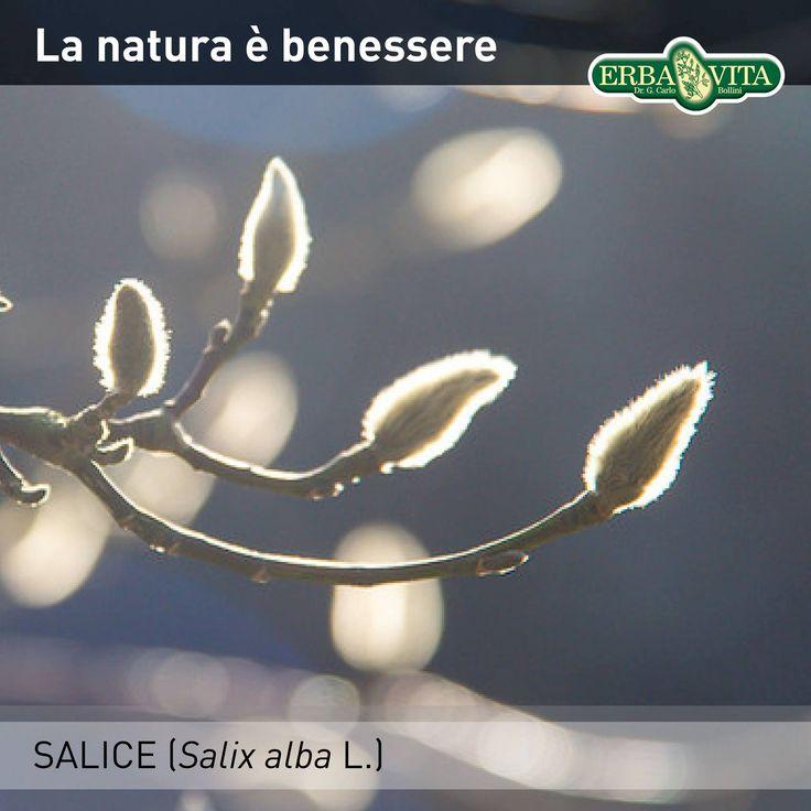 #SALICE - La natura è benessere Il Salice, fonte naturale di #salicina, è utile per favorire la fisiologica funzionalità articolare e per contrastare gli stati di tensione localizzati.  #ErbaVita #IntegratoriAlimentari #ProdottiNaturali