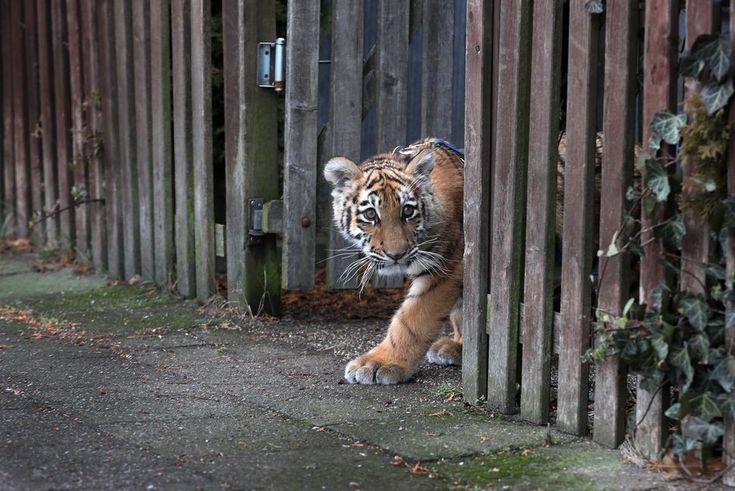 Uma tigresa de unhas negras, e iris cor de mel