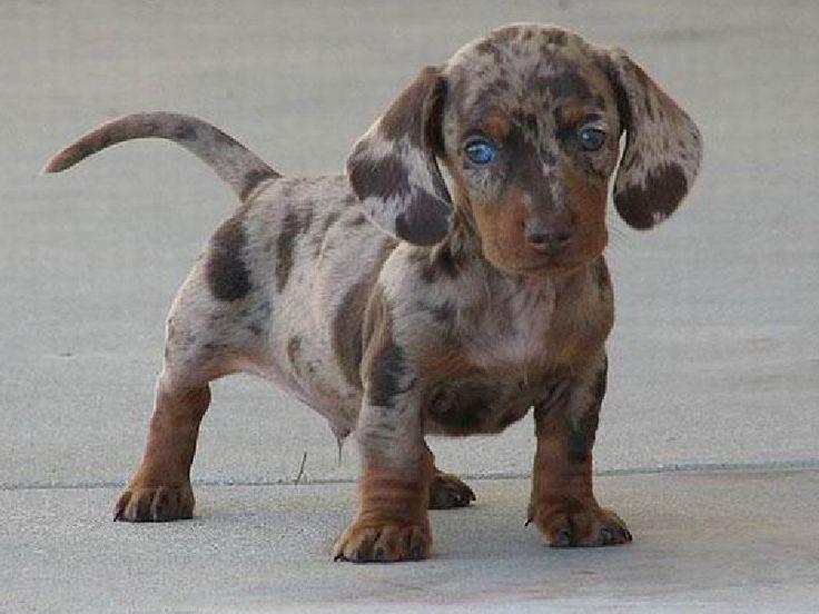 chien-croise-bizarre 24 croisements de chiens qui donnent naissance à des animaux originaux