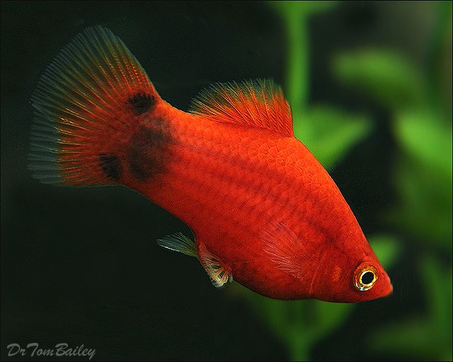A beautiful red mickey mouse platy swimming in one of our for Platy fish breeding