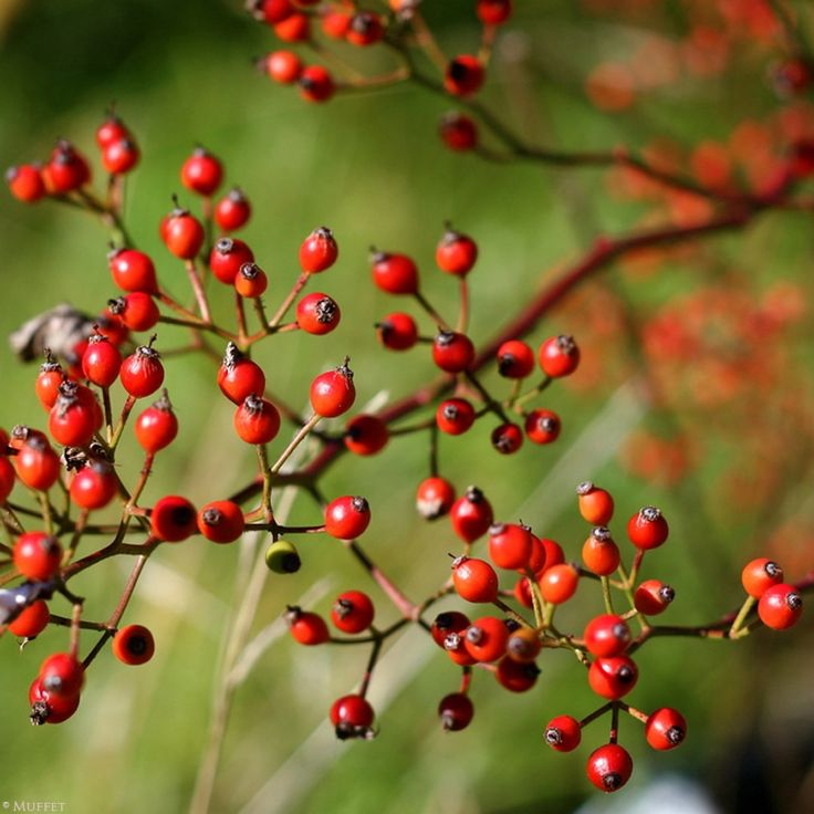 Gorgeous glowing rosehips in the hedgerow, packed full of anti-ageing natural skincare properties. Read more at www.herbhedgerow.co.uk