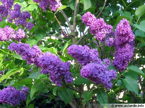 Lilas commun, Syringa vulgaris