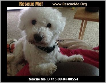 Bichon Frise    Age: Adult  Health:	 Neutered            Animal Location:  Hamilton County Reading, OH MAP IT!  Contact:	 Ashlee Luna 513-317-1189