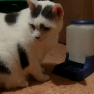 Cat-Powered Automatic Cat Feeder--Designed to aid weight loss and decrease overeating