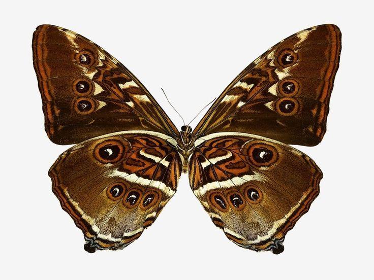P Moth Decorator Best 25+ Brown moth id...