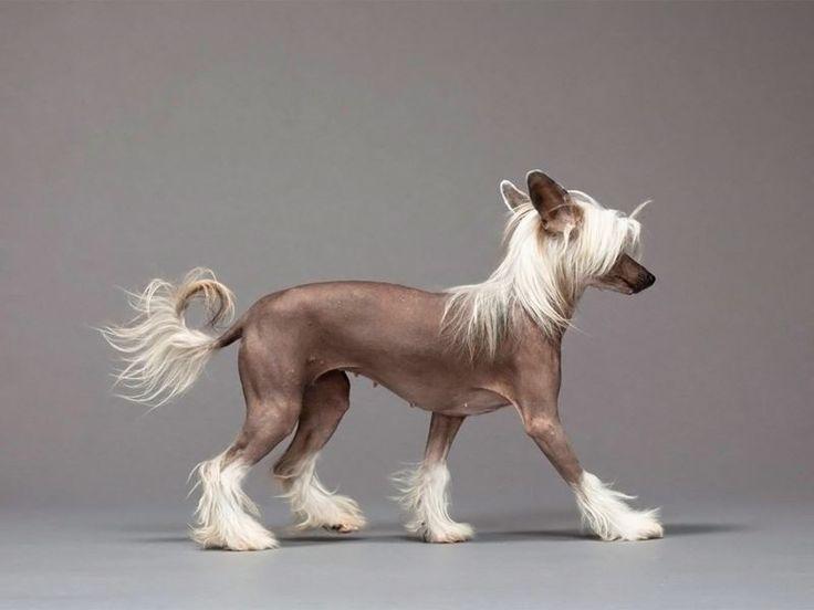 SOUND: https://www.ruspeach.com/en/news/13417/     Китайская хохлатая собака - это порода маленьких декоративных собак. Родиной этой породы считается Китай и Мексика. В Китае хохлатая собака считается символом благополучия хозяев. Это дорогая порода. Собаки этой породы очень активные, жизнерадостные и изящные. Они преданы своим хозяевам. Эти собаки могут быть безволосыми или с шерстью.    Chinese crested dog is a breed of little decorative dogs. China and Mexico are considere