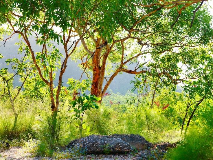 Sunlit woodlands near Nourlangie Rock in Kakadu National Park, Northern Territory, possess an enchanting allure.  By Steve Parish
