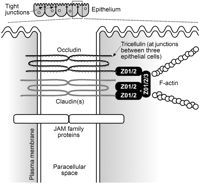 Regulation of Tight Junction Permeability by Intestinal Bacteria and Dietary Components