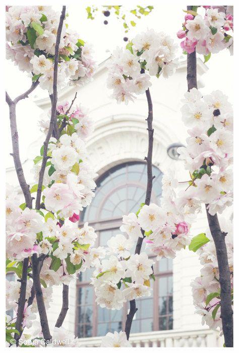 Cherry Blossoms in White, Paris - April in Paris,