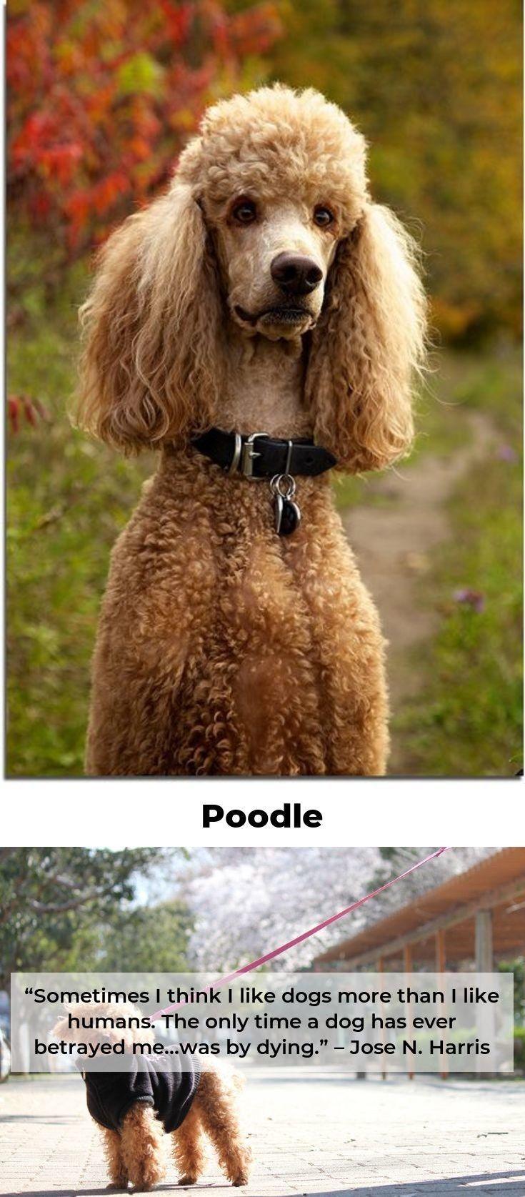 Pin On Fabulous Poodles