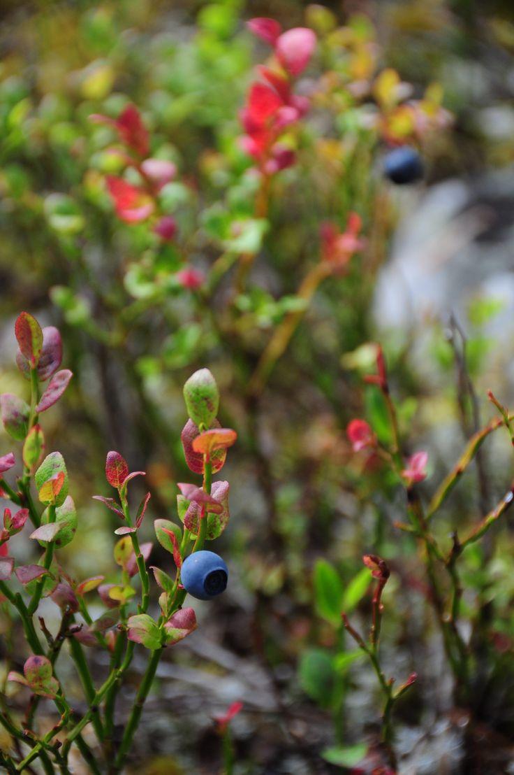 Myrtille de #Laponie, cueillette, baie arctique. http://destinationlaponie.fr