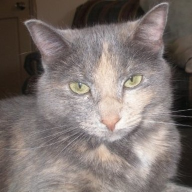 dilute tortie | Cat ready for adoption: Dilute Tortoiseshell / Domestic Medium Hair ...