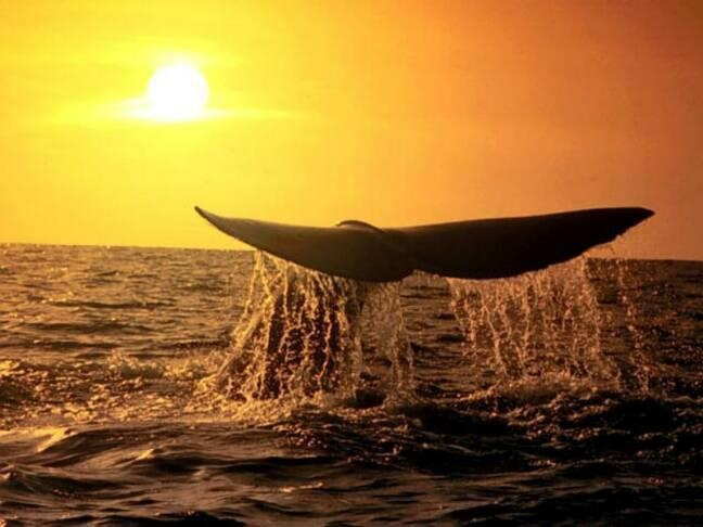 Sunset Humpback Whales through Byron Bay