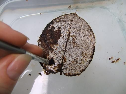I was searching for images of leaf skeletons for my next tattoo, and ran across this!  Now this is going to be my next project to try!  I've always been fascinated by Leaf Skeletons and get so excited when I find one.  Now I can make my own!!