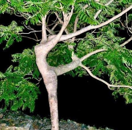 Oh my gosh! I totally thought this tree was a ballerina! -W