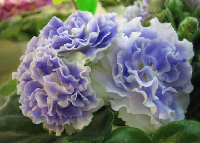 African Violet Leaves | 1000x1000.jpg