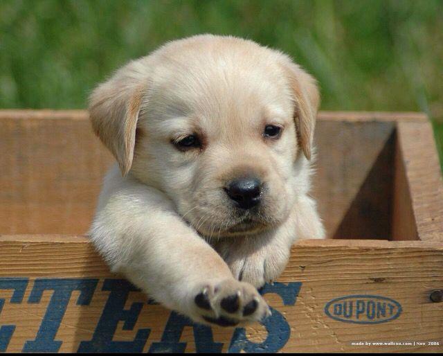 Bébé Labrador -PONCHO!